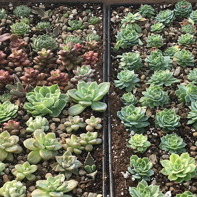 Succulent potting day!#warwickfarm #ruralsocietyflowers #oldslatefarm #hopesfor2018