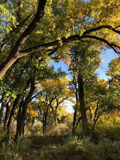 Fall trees along the Rio Grande River in New Mexico