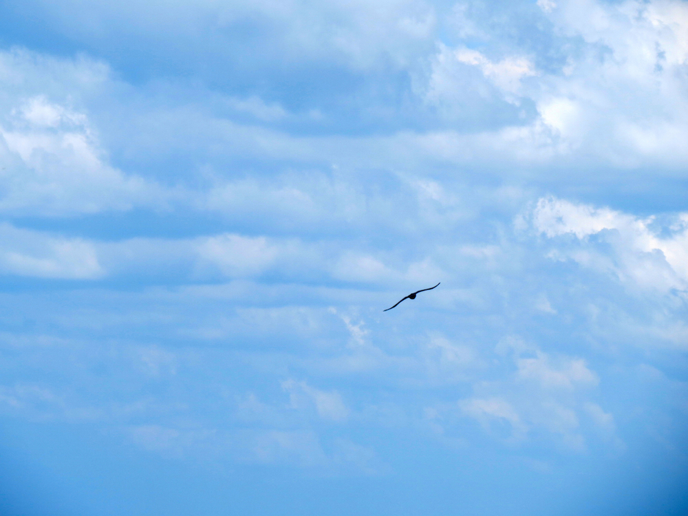 soaring seagull copy.jpg
