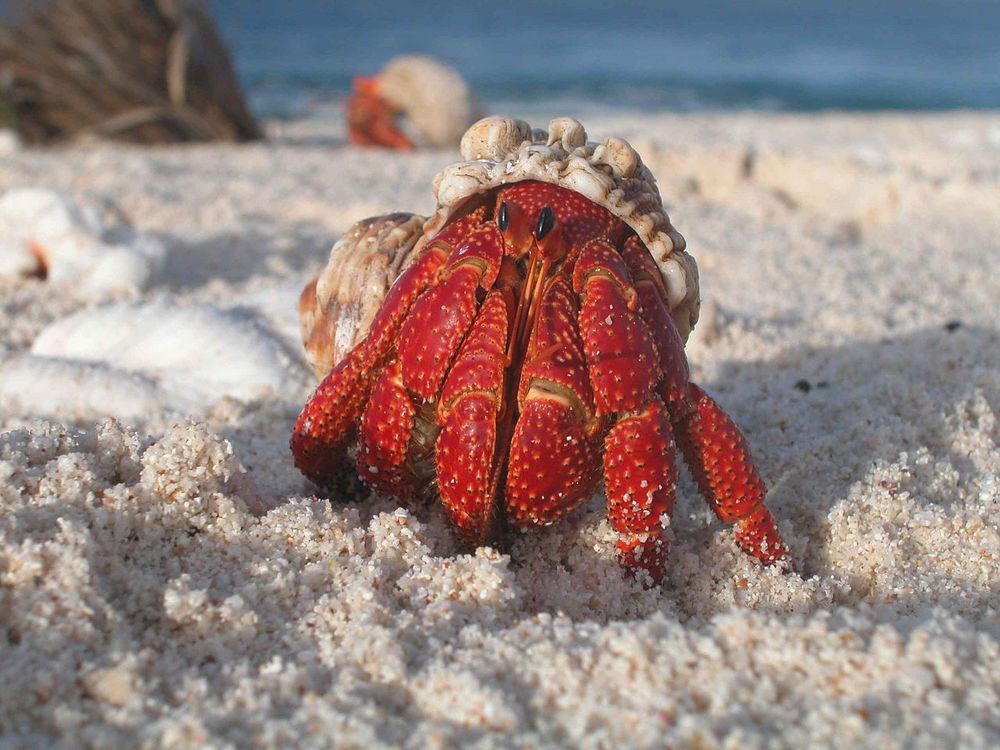 Public Domain Image from awikipedia article on the hermit crab.