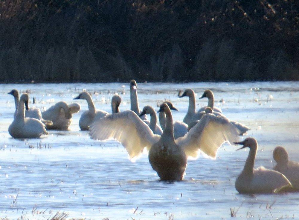 Goose wings copy 2.jpg