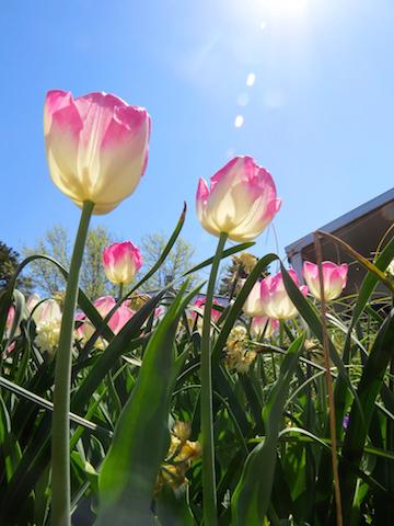 Tulips in the Sun copy.jpg