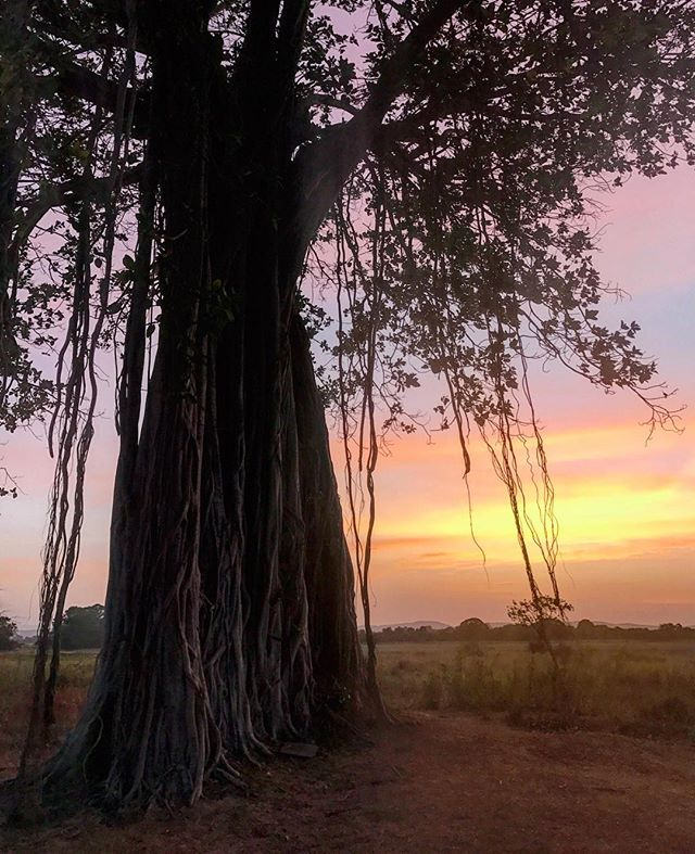Second day in a row with this magical tree at sunset 🌅 even better than yesterday 😍❤️#sunset #srilanka #polonnaruwa #lake #parakramasamudraya