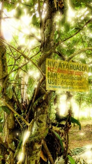 Planta Ayahuasca