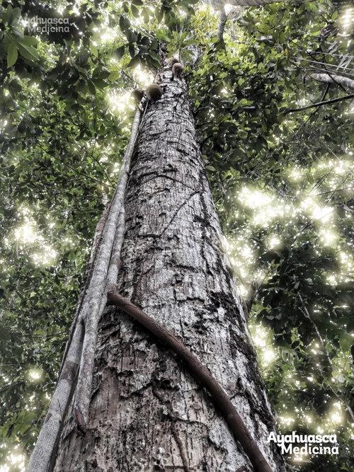 """Ayahuma. El árbol que """" Corta Cabeza """"  (Conecta con el corazón y desconecta la mente de mono racional)"""