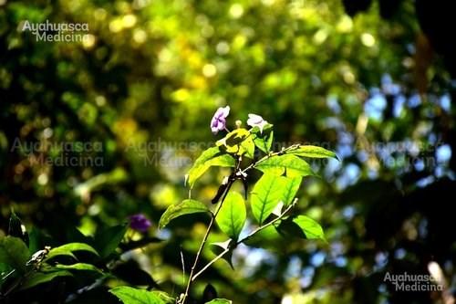 Ayahuasca+Medicina+308.jpg
