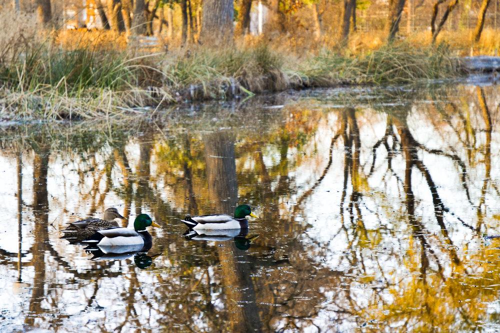 DuckReflections2-1107.jpg
