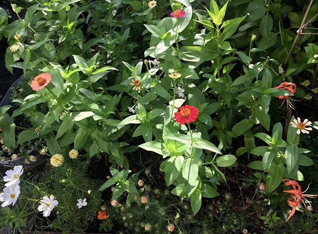 Cosmos, zinnias and lilies- packing it all in to one tiny space