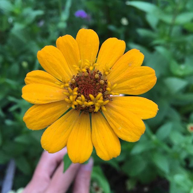 This zinnia & the chilly morning breeze has me feeling those fall feelings.