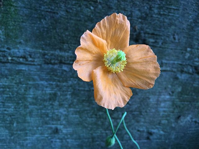 Peach poppies are my spirit animal 💛✨