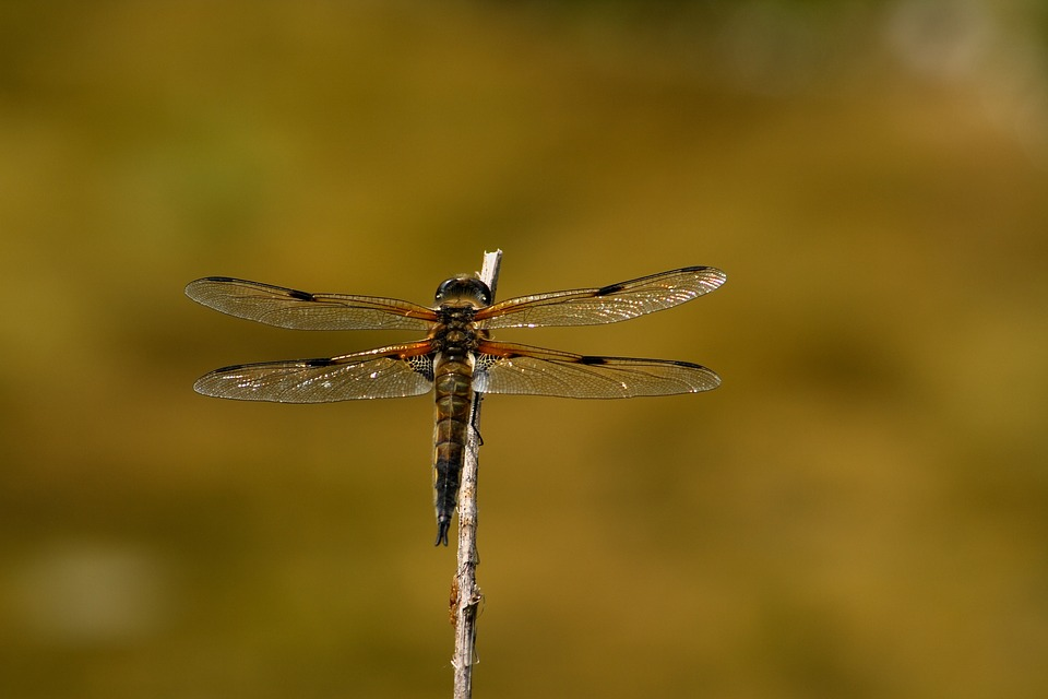 dragonfly about to take off.jpg