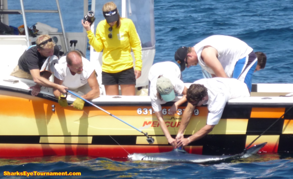 Science team from the MA Shark Research Program attach a satellite tag to a shortfin mako shark during 2013 competition.