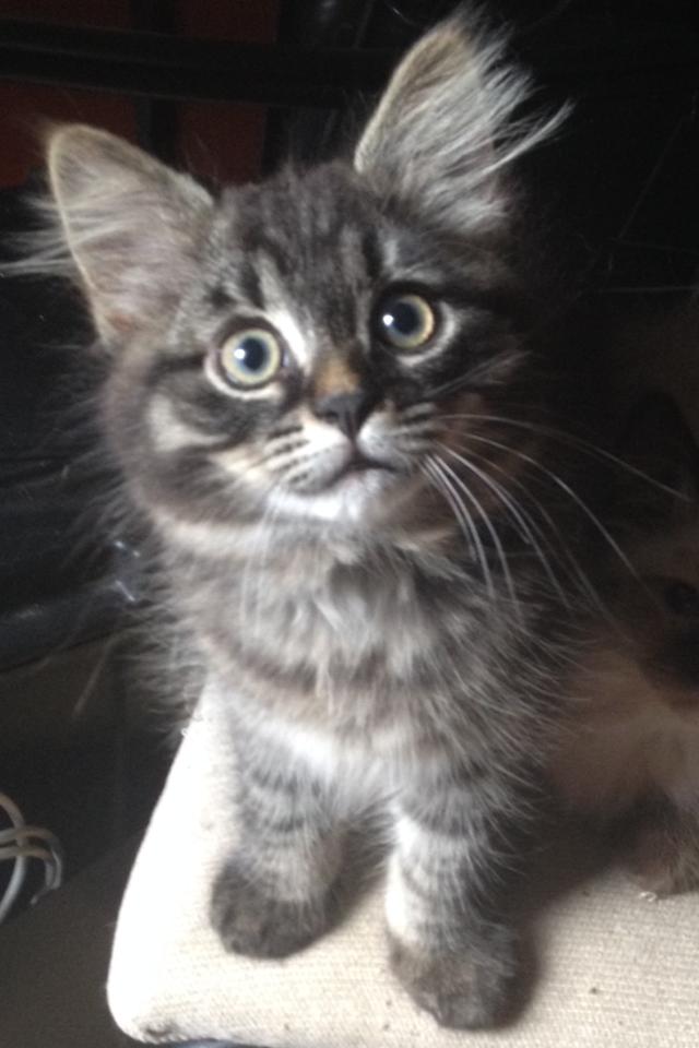 gorgeous tabby siberian kitten