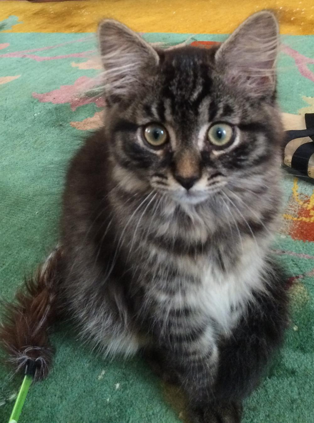 Adorable siberian kitten tabby