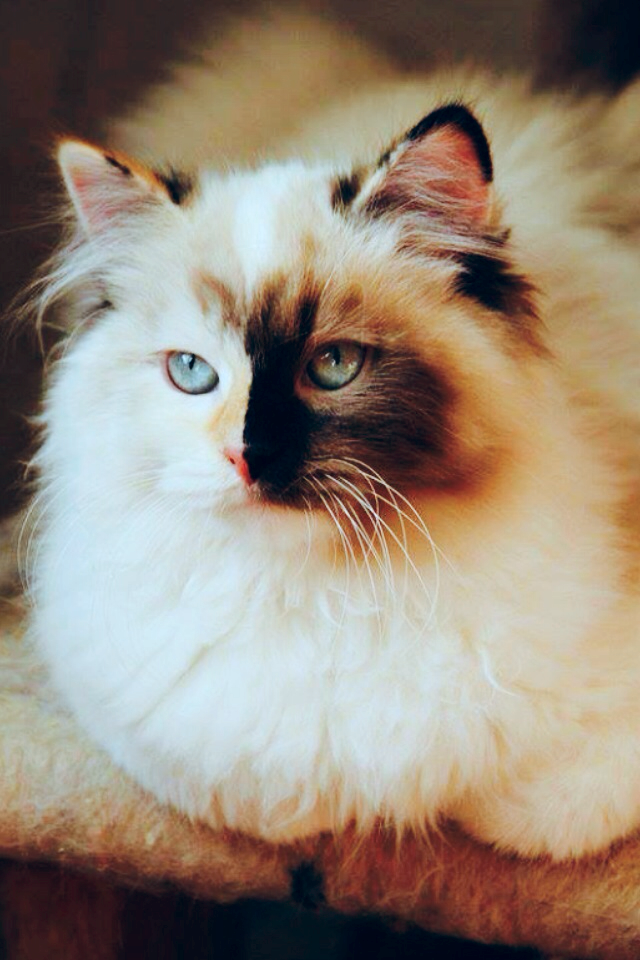 beauty Queen siberian cat