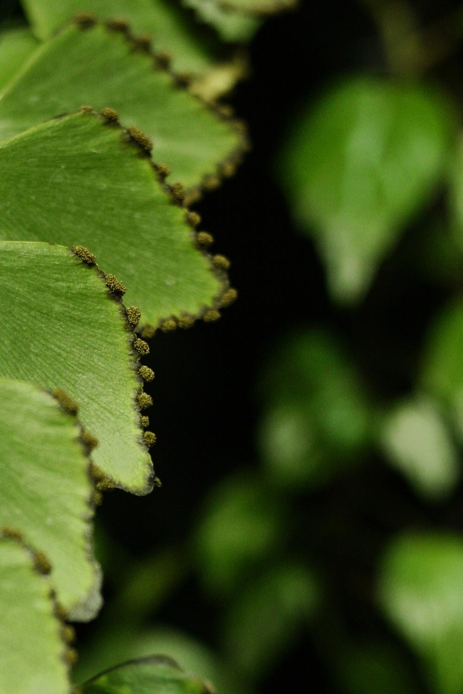 Closeup of Adiantum peruvianum showing sori.Image© In Situ Plants .