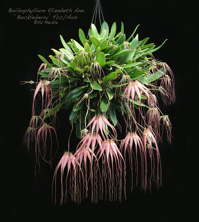 Bulbophyllum 'Elizabeth Ann Buckleberry', probablyone of the most commonly grown plants in the genus.Photo © Ed M.; retrieved fromThe Orchid Source