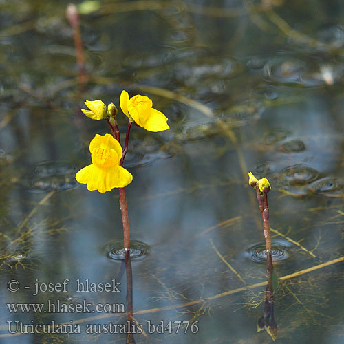 Utricularia australis, which prefers to grow on the wetter side of wet. Image © Josef Hlasek; retrieved from  his website