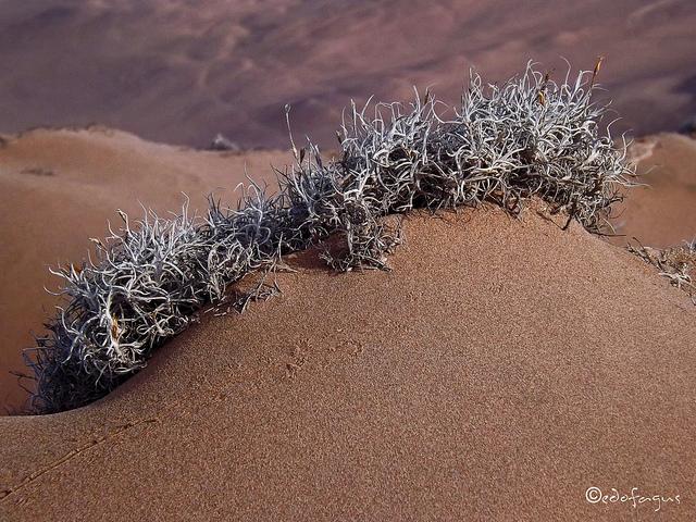 Tillandsia landbeckii, growing where little else will.Image ©Eduardo Vergara; image retrieved from Flickr.