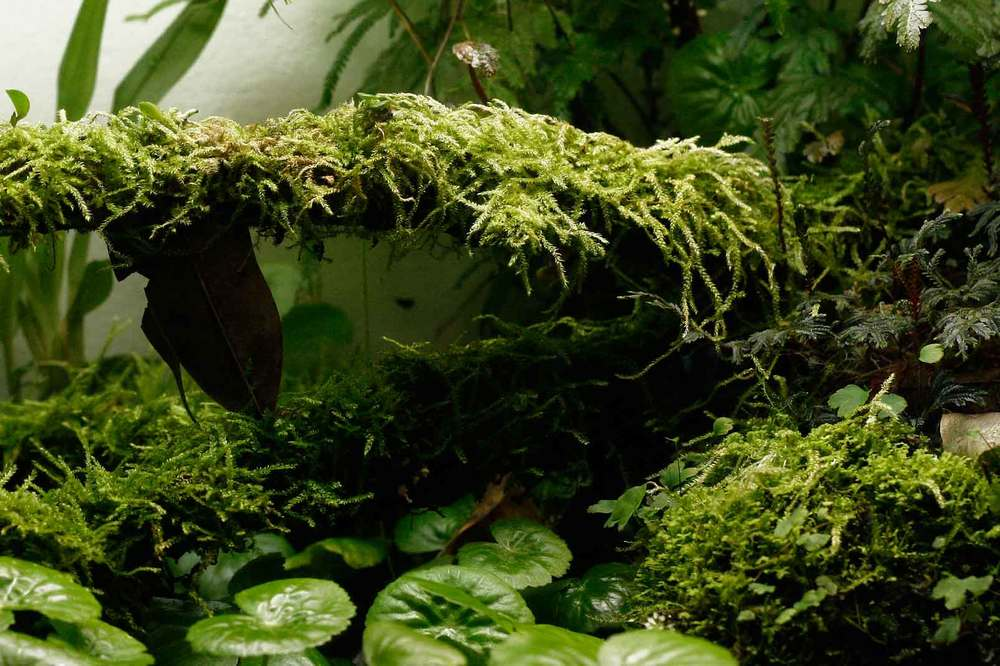 Mosses, to me, are some of the most lush and beautiful plants one can grow, and they do best in a humid terrarium. Image © In Situ Plants.