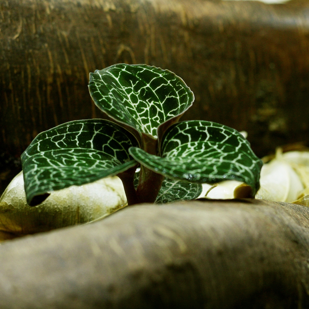 Anoectochilus formosanus, a beautifully-patterned small species of orchid which grows terrestrially in leaf litter in its native habitat, and which loves the moist humid surroundings of a terrarium. Image © In Situ Plants.