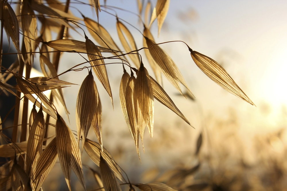 Oats, the foundation of Flavahan's success.Photo by irisphoto2/iStock / Getty Images
