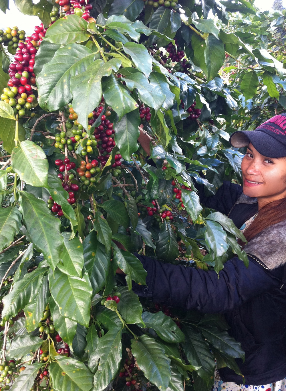 Picking only the ripest Arabica cherries on offer.