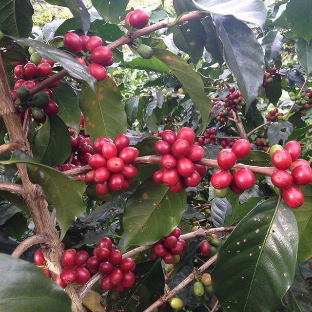 """""""Cà phê với chị là một loại trái cây, ăn tươi thì ngọt, vỏ có thể làm trà, nhân thì làm đồ uống. – Rolan"""""""