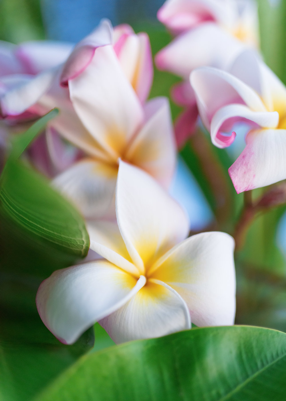 Plumeria, Ford Island, Oahu