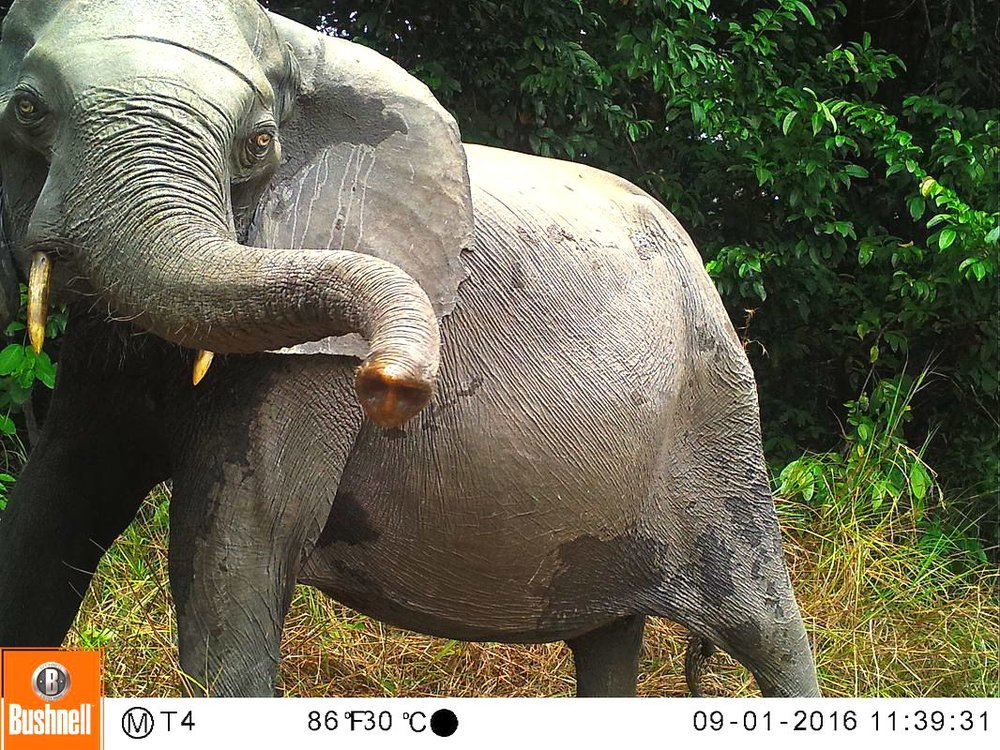 Image Courtesy: Elephant Expedition – Camera trap picture on Zooniverse