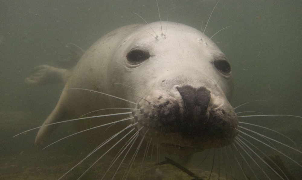 Seal in the Farnes Islands, UK. Image courtesy of Aileen S.