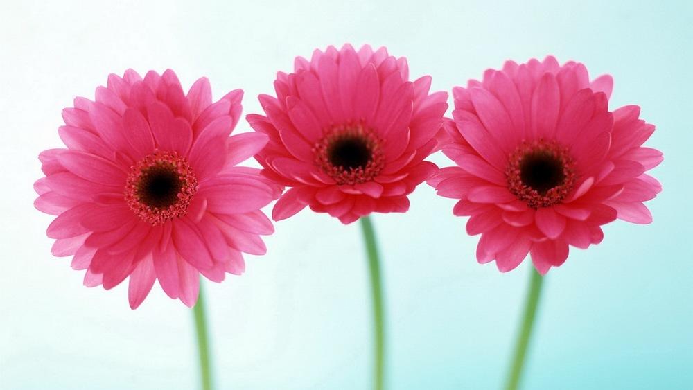 Three-pink-daisies.jpeg