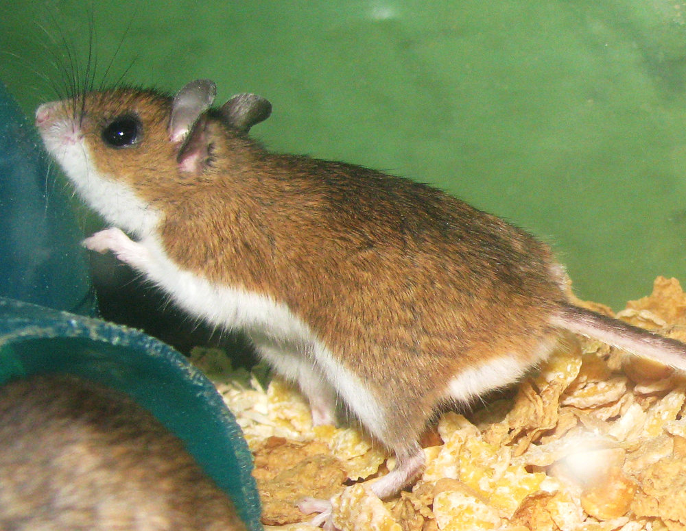 A deermouse.  ( via Wikipedia)