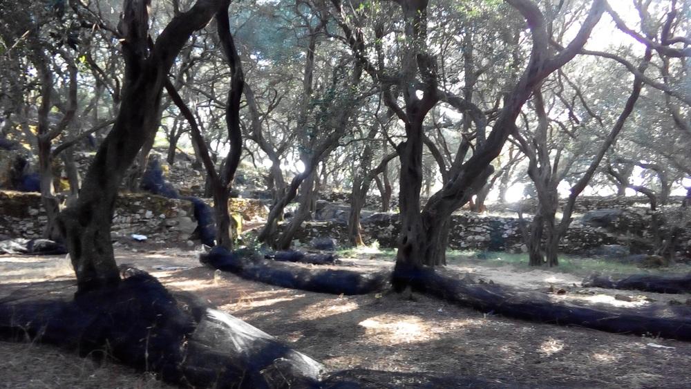 olive-trees-lakones-goat-path