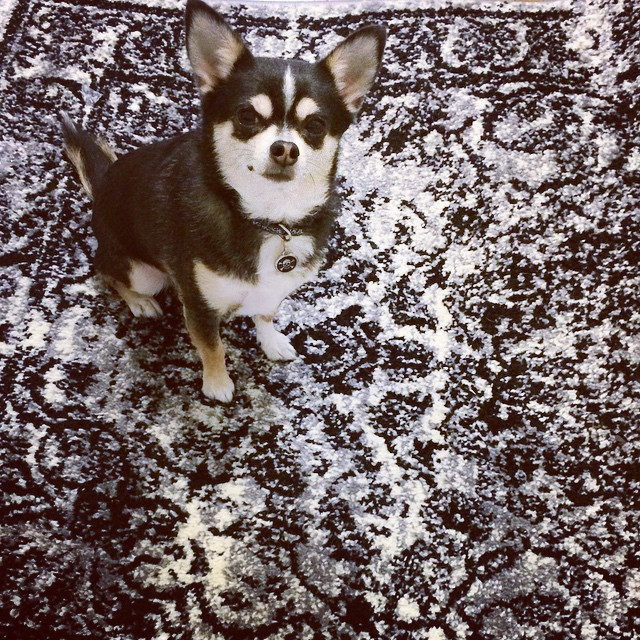 Deez is ready for #treats! #NYC #chihuahua #instadog (at Manhattan New York, N Y)