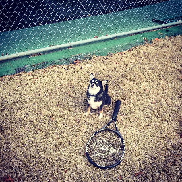 Diesel the #tennis #chihuahua … Oh I just love suburban life! #ATL  (at Sandy Springs Tennis Center)