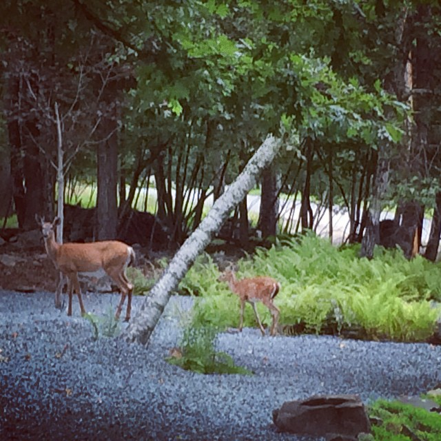 Morning walk with Bambi & Friends (at Woodloch Pines)