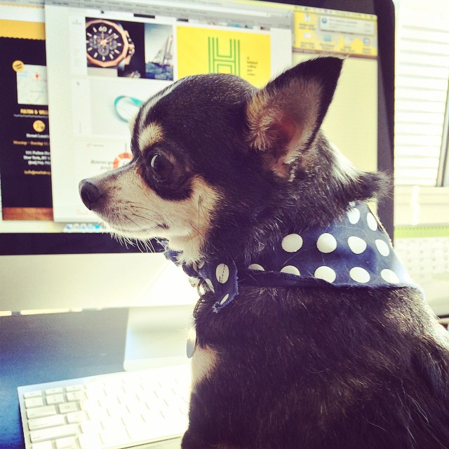 #artdirector Diesel is working on some #design ideas in the @psdesignnyc office today! #design #chihuahua #nyc (at 42st Times Square)