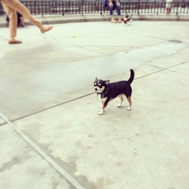 #nyc #dog park with Mr.Diesel (at Carl Schurz Small Dogs Run)