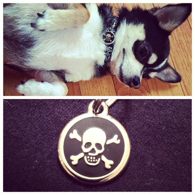 Diesel is loving his fancy new tag! A special treat from @bowerysupply thank you!! #badass #chihuahua #nyc