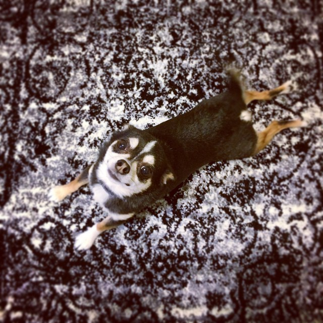 Deezy carpet camouflage #nyc #chihuahua