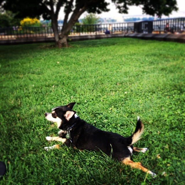 Ooohh, I love the grass!!! #nyc #chihuahua (at Carl Schurz Park)