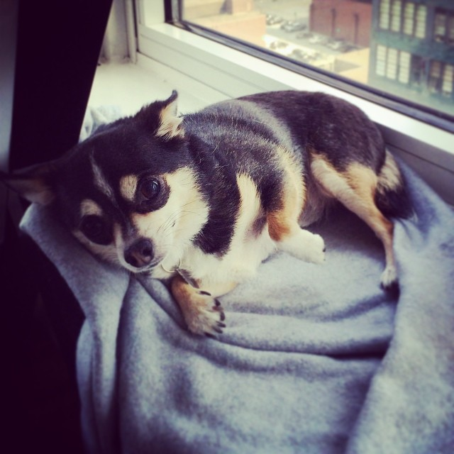 Only Diesel can pull off laying down on the job! #design #chihuahua #nyc (at 42st Times Square)