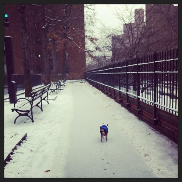 #nyc #snow #chihuahua
