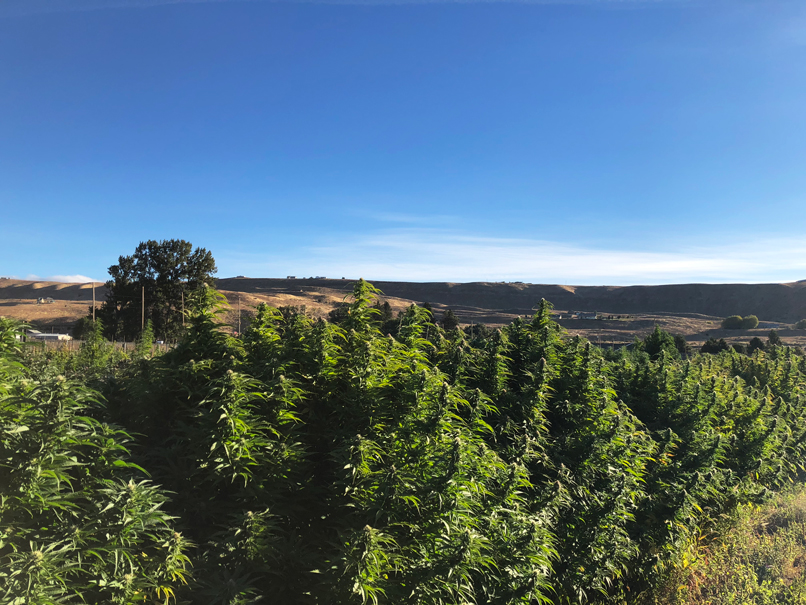 Over 20,000 square feet of premium cannabis at Puffin Farm. Breathe in the good!