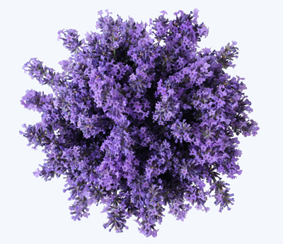 Linalool - Think floral! This terpene is in many different flowers and spices but one of the most recognized is lavender. You can also find it in coriander, cinnamon and birch trees. Linalool is another terpene that is fantastic for it's relaxing and mood-elevating effects so it can be very beneficial for anti-anxiety, anti-depressant as well as some sedative benefits. It also has been shown to help with inflammation and pain. Some strains that can have a higher quantity of linalool are LA Confidential, Amnesia Haze and Purple Kush.