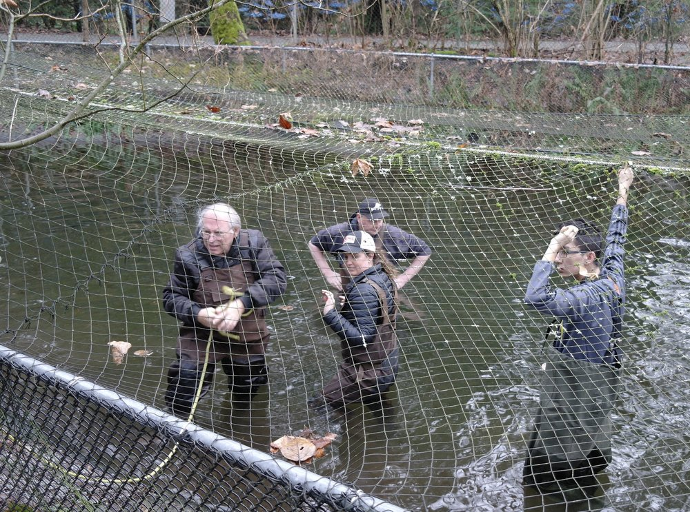 Coho Fish Weighing - February 18th 2017Members weighed coho from the pond. Average weight of fish is 15.402 grams. In the egg room the Chum and Coho eggs continue to grow. Thanks to all the members who monitor the egg process. Bent Pedersen, Mitch Rasche, Mick Hunt, Ray Melville, Tara McBryan, Ian Barrie, Ed Beye, Paula Soto, Bill Christie, Doris Wilcox.