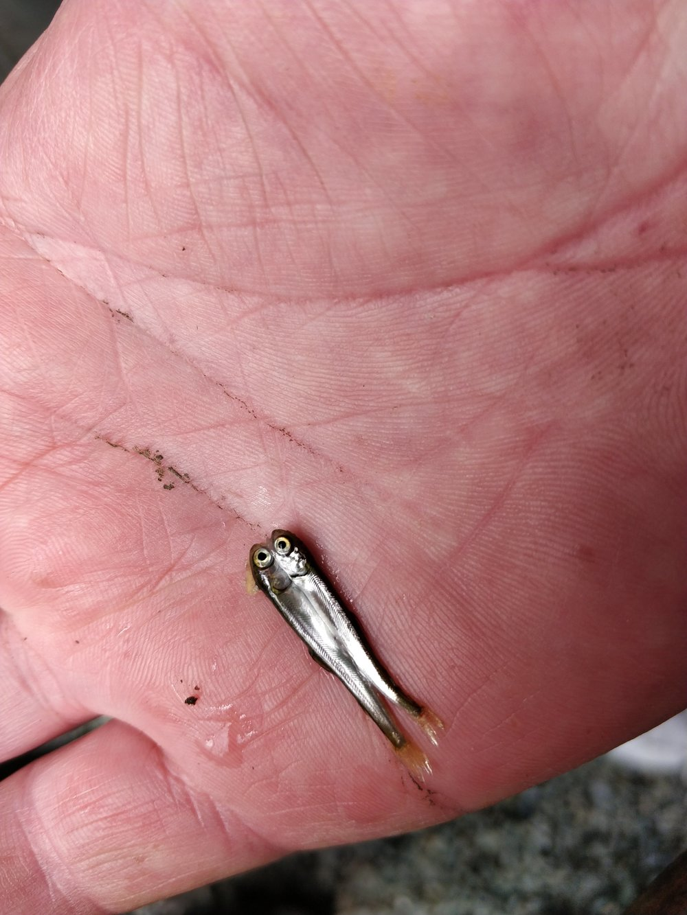 Unusual - March, 2018Member Mitch found a 2 headed Coho fry.