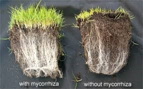 Image above depicts two pieces of turf.One has been inoculated with EM and the other is a control. You can see the difference in vigorous root growth