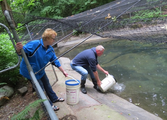Coho Pond Transfer - June 23, 2018 Clipped Coho fry were moved from the indoor trough tanks, outside to the rearing pond.    Dam at the end of the pond was reinstalled, bubbler system in place and fry were transferred.   Thanks to members who helped with the move.